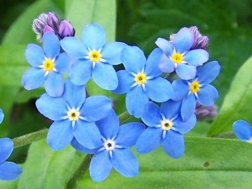 Ekospołeczni naniebiesko – 15 maja Świętem Polskiej Niezapominajki